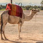 Kameli pärjää niukkaravinteisella aavikolla. Vararavinto kulkee mukana kyttyrässä.