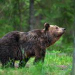 Virolainen karhu ei poikkea ulkonäöltään tai rakenteeltaan suomalaisesta lajitoveristaan.