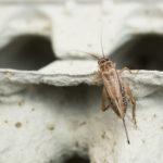 Kotisirkka (Acheta domesticus) tykkää piilotella munakennojen koloissa.