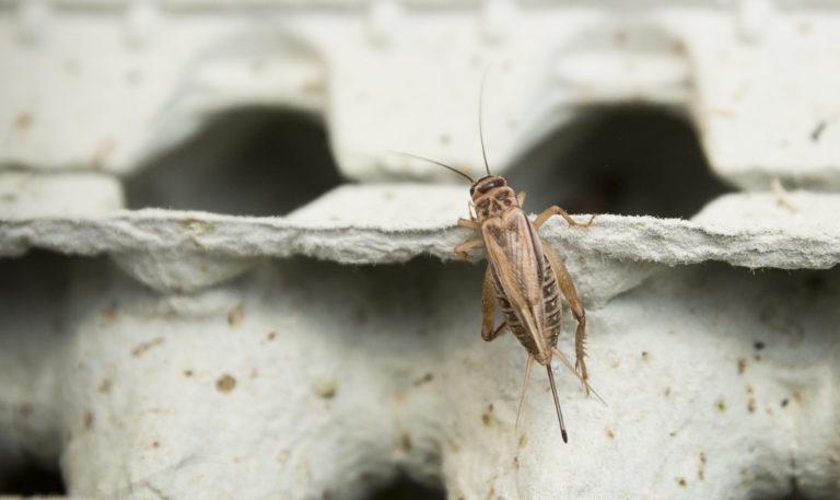 Kotisirkka (Acheta domesticus)