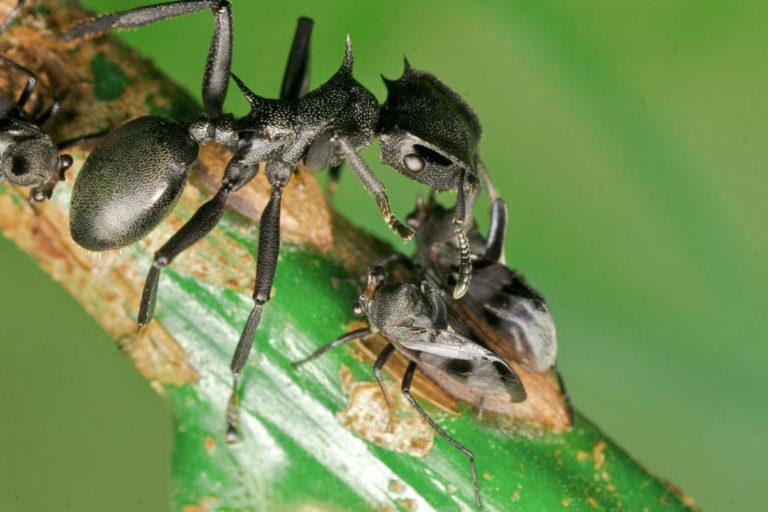 Cephalotes-suvun muurahainen ja sarvikaskaita.