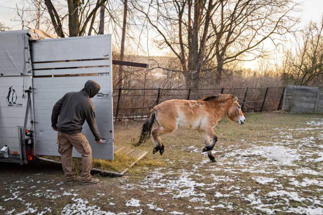 Villihevonen Helmi laukkaa pitkän autokuljetuksen jälkeen Prahan eläintarhan aitaukseen.