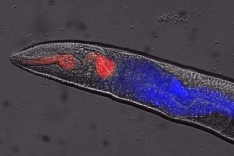 Sukkulamadon kuolema näkyi ultraviolettivalaistuksessa sinisenä valona.