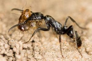 Megaponera analis -muurahainen siirtää termiittiä.