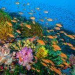 Fidžillä sijaitseva koralliriutta pursuaa värejä ja elämää. Täällä viihtyvät myös kuvan viirikoruahvenet.