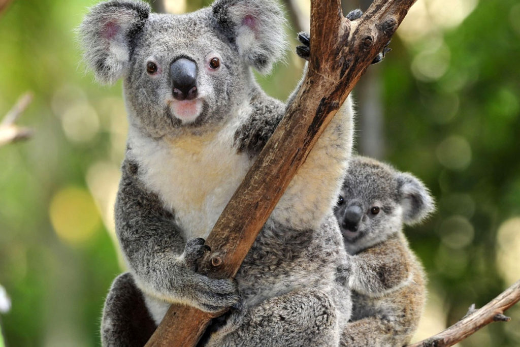 Koala eli pussikarhu (Phascolarctos cinereus).