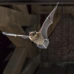 Vaivaislepakko (Pipistrellus pipistrellus).
