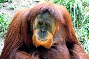 Sumatranoranki (Pongo abelii).