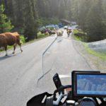 Alppiteillä joutuu joskus väistelemään myös lehmiä.