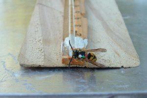 Ampiainen söi tutkijoiden rakentamasta ruokintalaitteesta. Kokeessa ampiaiset tunnistettiin toisistaan tutkijoiden piirtämien erilaisten pisteiden avulla.