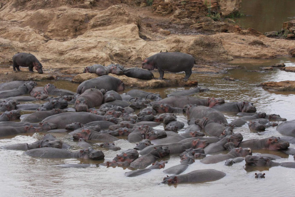 Virtahevot köllöttelevät vesialtaassa Marajoen alueella Keniassa.