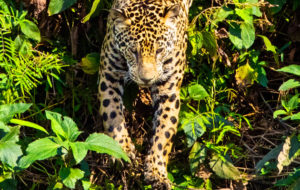 Jaguaari