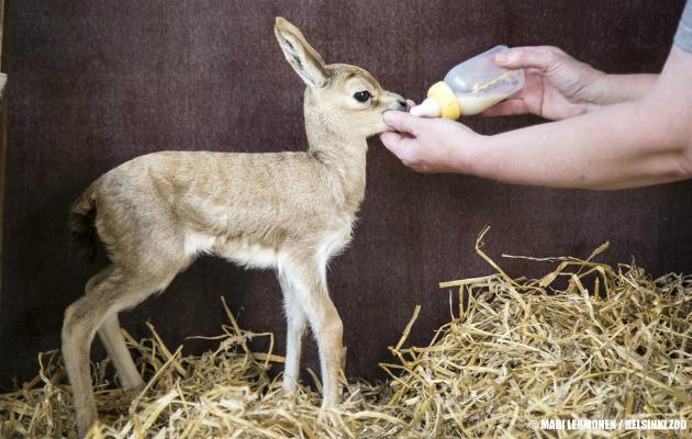 Osallistu äänestykseen! Anna nyt äänesi Korkeasaaren suloisimmalle eläinpienokaiselle! :vastausvaihtoehto 1