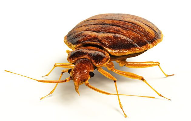Hyönteisten Puremajäljet
