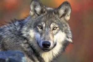Susi (Canis lupus).