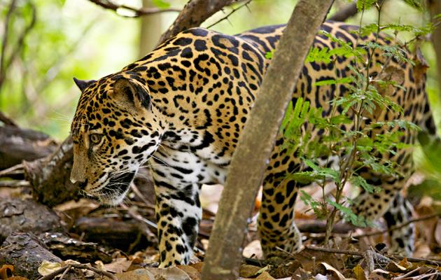 Costa Rican leopardi