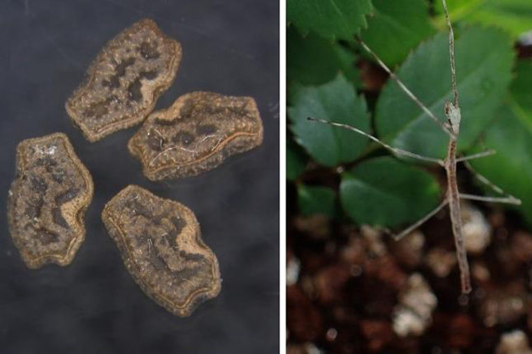 Tutkijat poimivat japaninbulbulin ulosteesta munia (vas.), joista kuoriutui sauvasirkkoja.