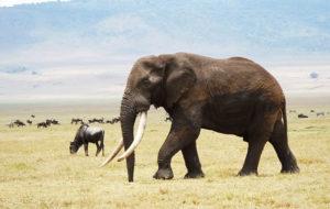 Sota norsunluusta