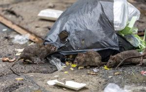 Rottia kadulla roskien kimpussa