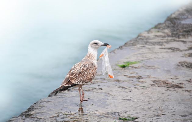 Lokit ja muut merilinnut eivät voi välttyä muoviroskalta