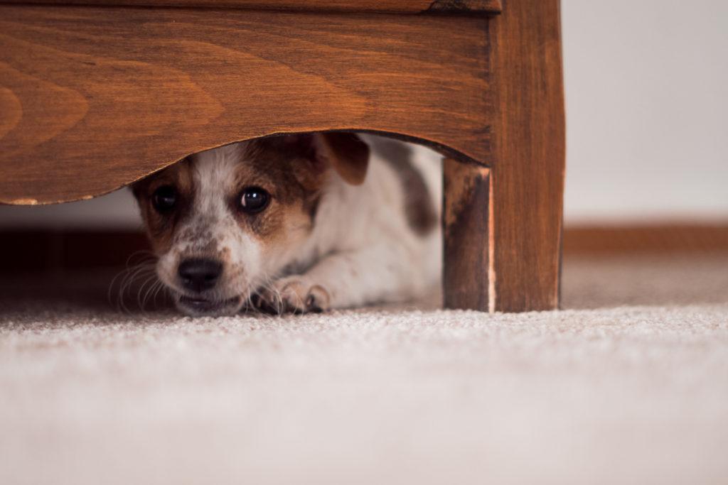 Miksi koira pelkää ilotulituksia? Erityisesti ilotulitteiden kovat äänet ja valojen välke pelottavat.