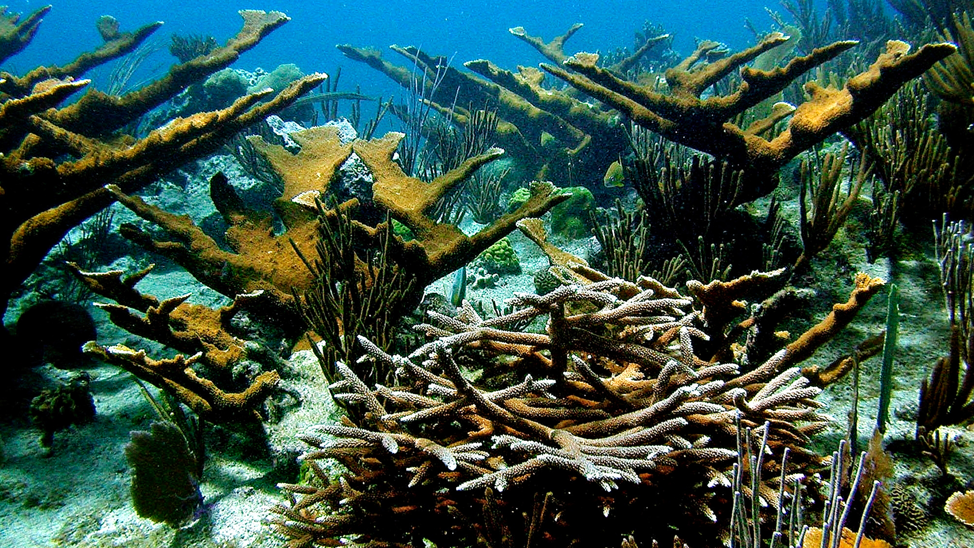 Karibian koralleja.