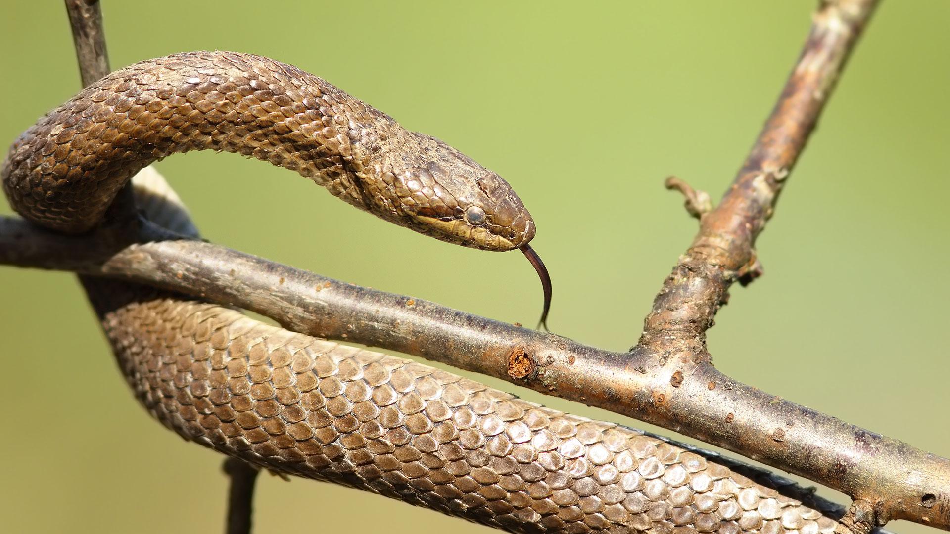 Kangaskäärme tunnetaan myös kanervakäärmeenä. Se, on tarhakäärmelaji, jota esiintyy Suomessa vain Ahvenanmaalla.
