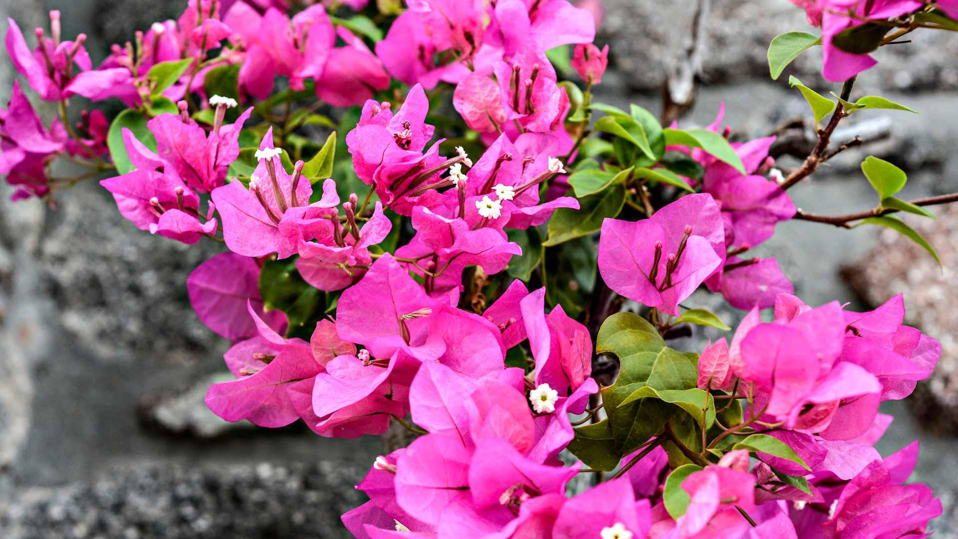 Rodoksen kukkia