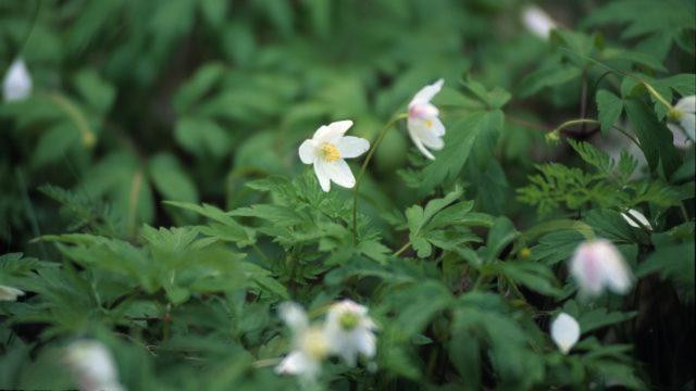 Luonto on alkanut heräillä kevääseen, ja Luonto-Liiton mukaan seuraavaksi tulevat valkovuokot