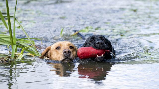 Uiminen viilentää koiraa.