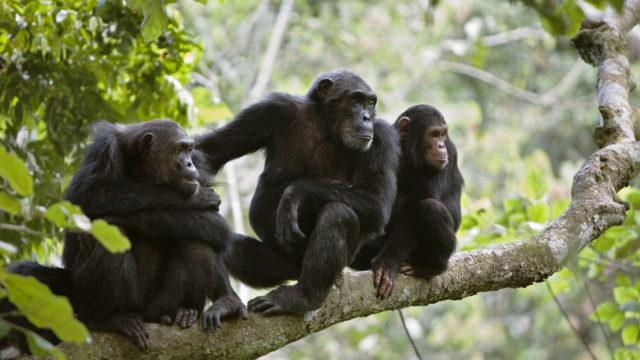Ihmisten virukset uhkaavat simpanssien terveyttä sillä niillä ei ole vastustuskykyä.