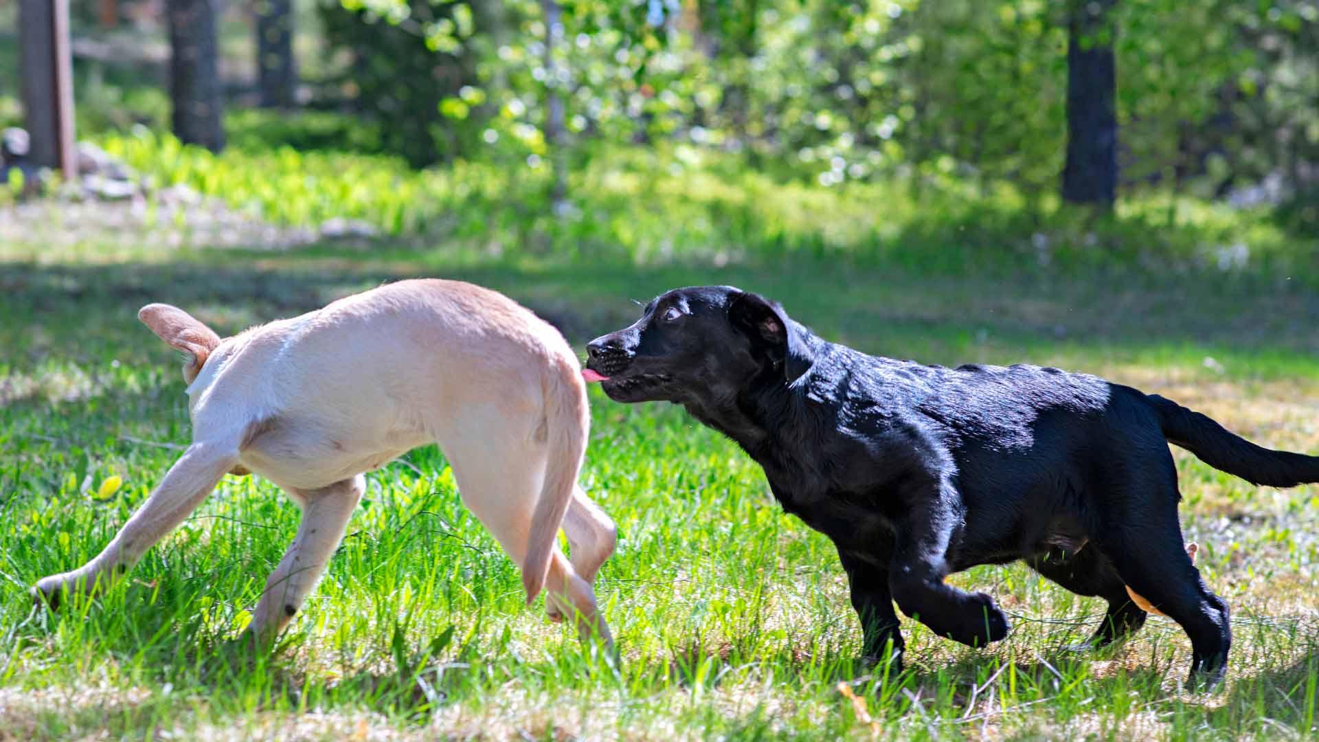 Labradorinnoutajat Aura ja Villi