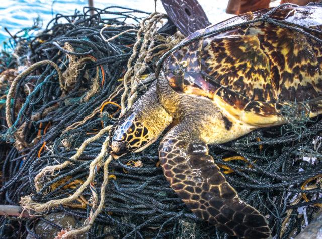Uhanalainen kilpikonna sotkeutuneena kalastusverkkoon.