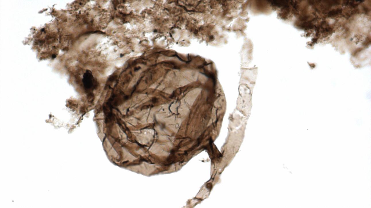 Kanadan arktiselta alueelta on löytynyt mikroskooppinen fossiili, jonka uskotaan kuuluvan varhaiselle sienilajille.