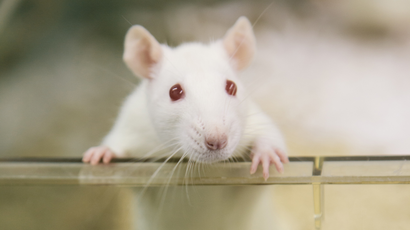 Tokion yliopiston tutkimuksessa kasvatetaan ihmisen soluja muun muassa rottien alkioissa.