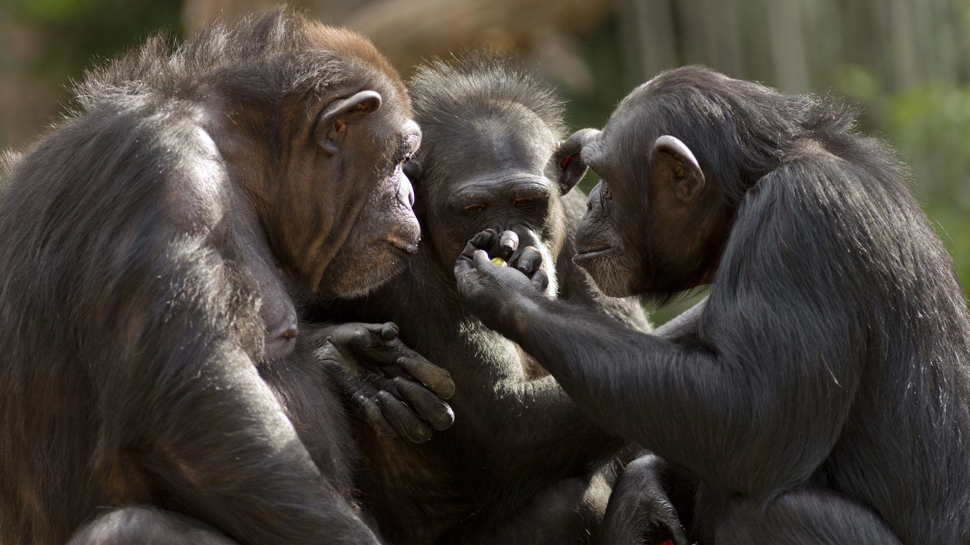 Simpanssit ovat sosiaalisia katsottuaan yhdessä elokuvan.