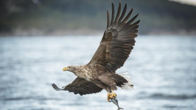Merikotka syö pääasiallisesti kalaa, mutta se saalistaa piisameja, minkkejä ja lintuja.
