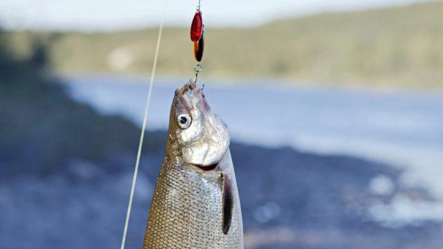 Milloin kala on parasta?