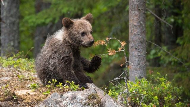 Karhunpentu kivellä.