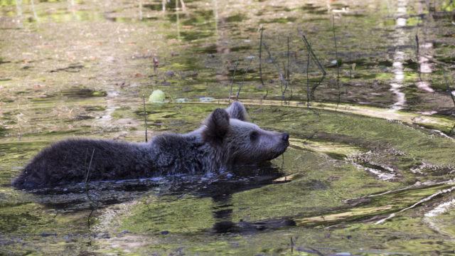 Karhu uimassa.