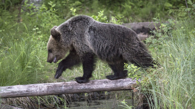 Karhu ylittää ojaa puunrunkoa pitkin.