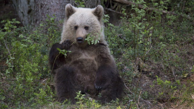 Karhu syö lehtipuun oksaa.