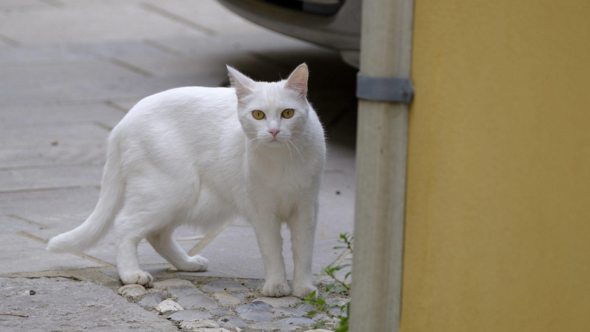 Valkoinen koditon kissa sai koko lintupopulaation häviämään.