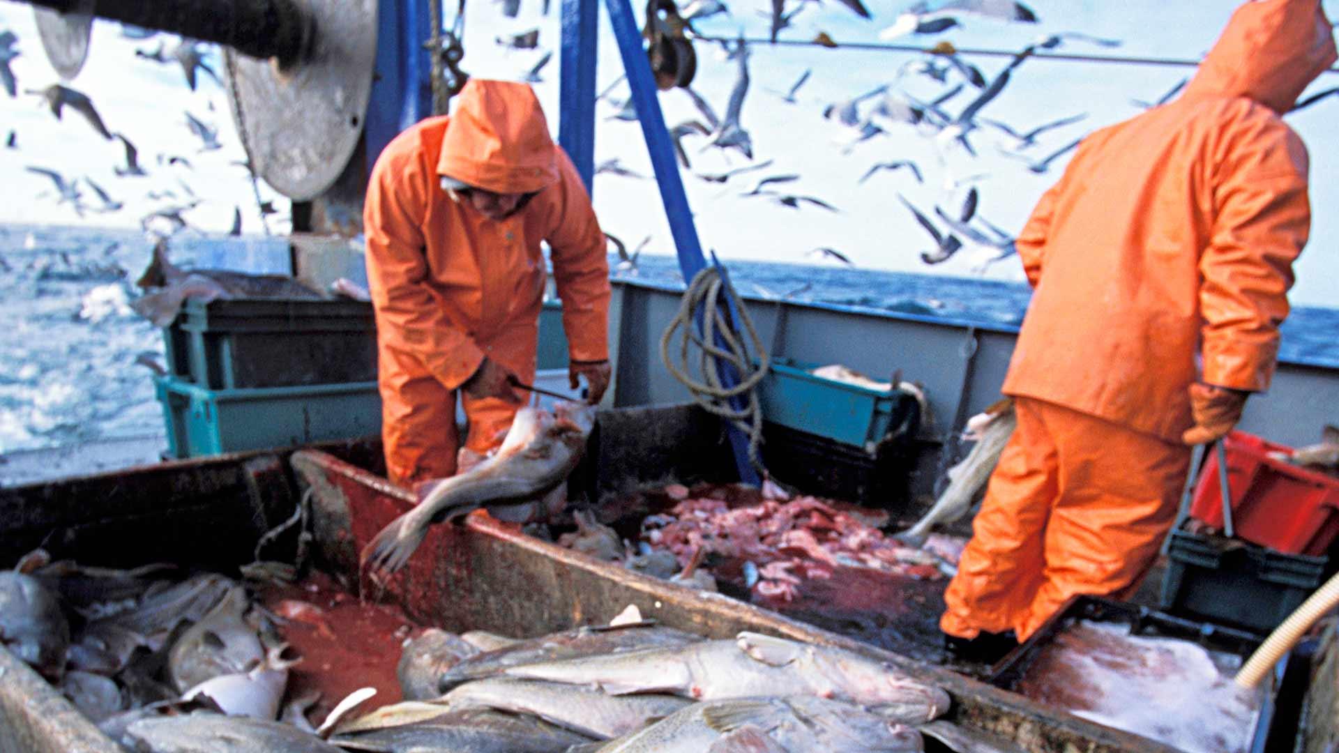 Kun kalajäte vähenee, merilinnuilta häviää helppo sapuska.