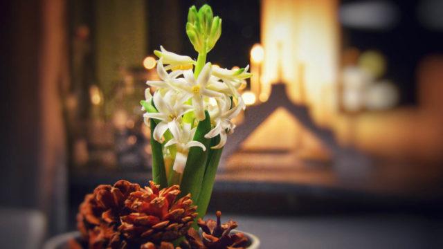 Hyasintti on suosittu joulukukka – ja tuoksuherkän painajainen.