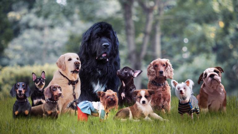 Oletko koiraihminen, joka tuntee koirien rodut kuin omat taskunsa? Testaa nyt tietosi.