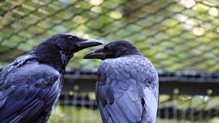 sosiaalisuus alentaa lintujen stressiä