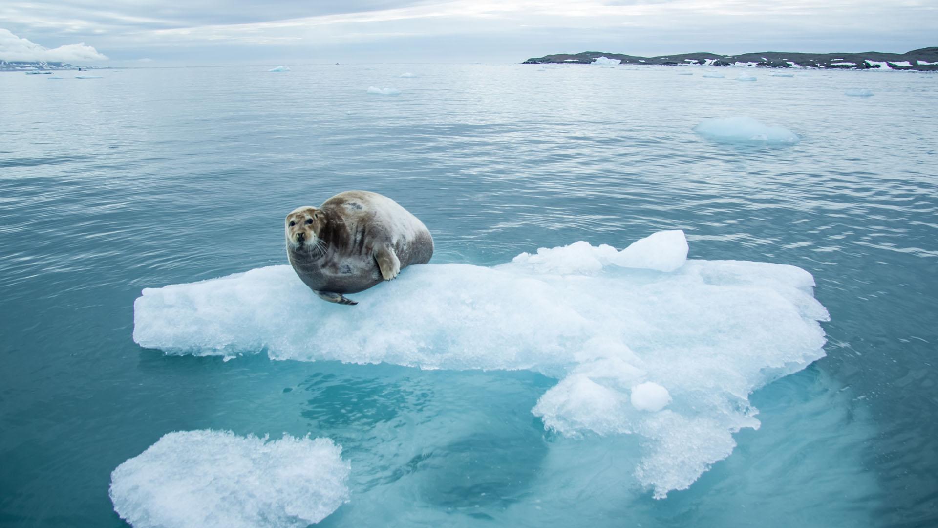 Hyljevirus leviää, kun merijäätä on vähän. Silloin merinisäkkäät pääsevät kulkemaan uusille elinalueille ja vievät virusta mukanaan.