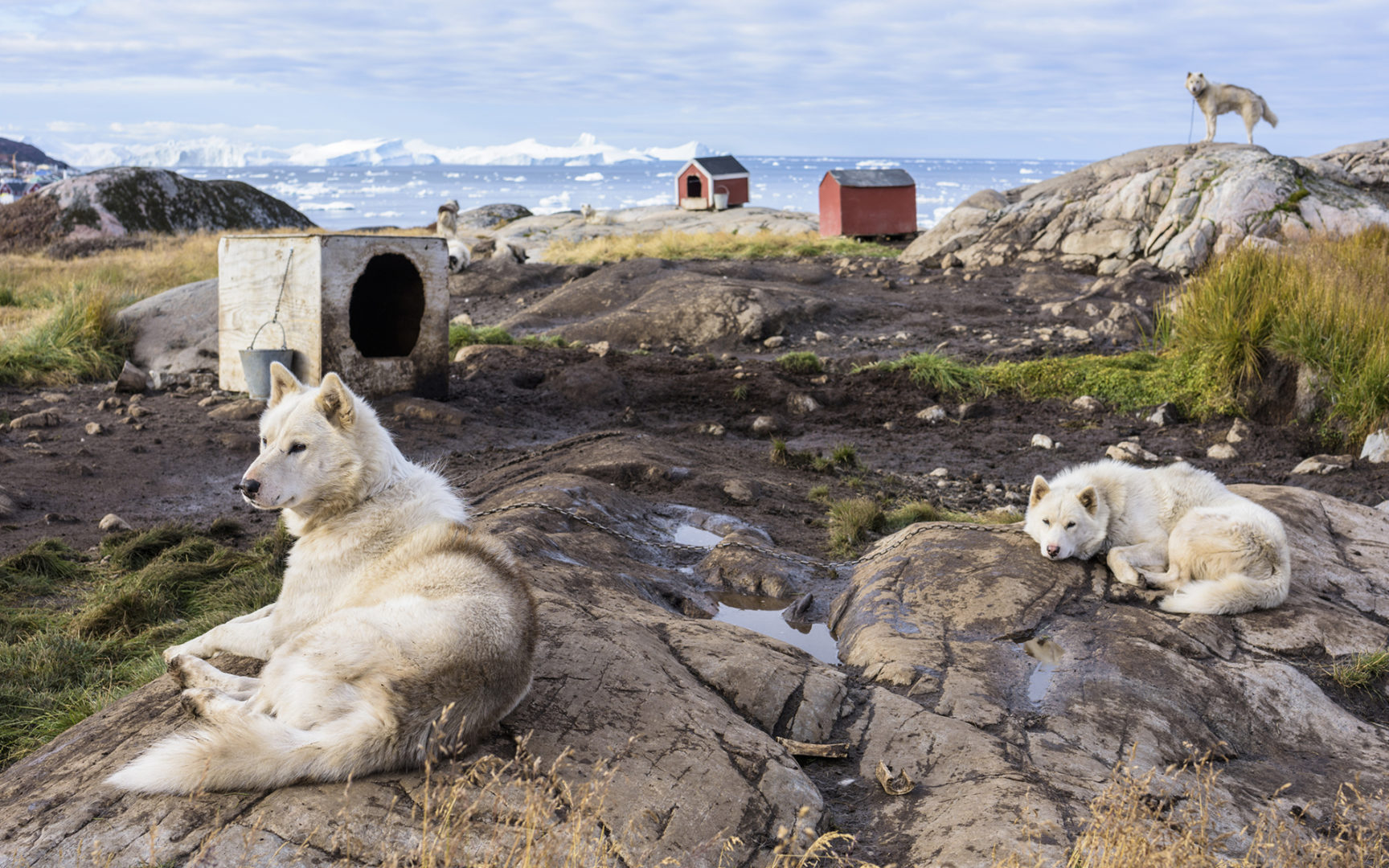 Tutkijat selvittivät, mistä kanadaneskimokoira on kotoisin.