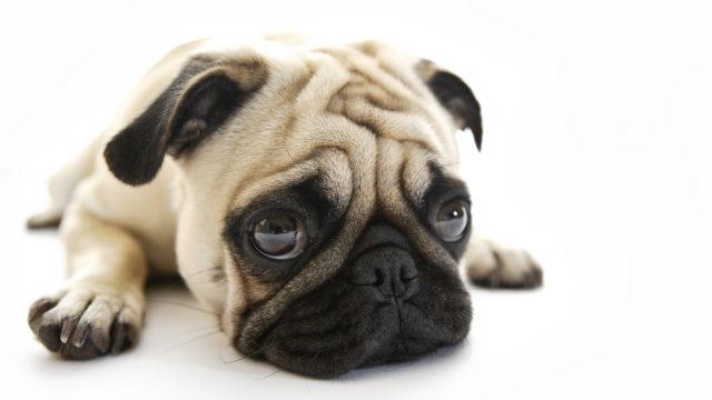 Mopsi valloittaa monen koiraihmisen sydämet.